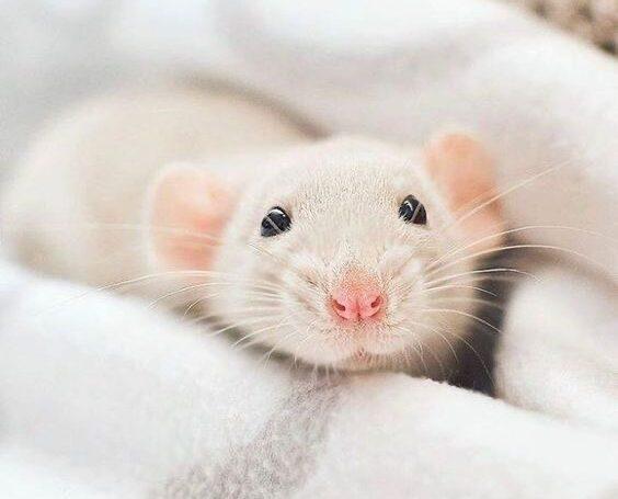 Лекционный день для владельцев крыс CentrVet